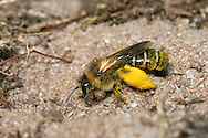 Mining Bee - Colletes succinctus - taking pollen to nest burrow