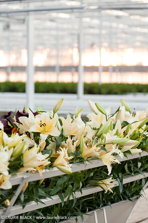 Lilies on display in a greenhouse