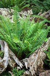 Polystichum munitum (Western sword fern) groeing in the stumpery at John Massey's garden