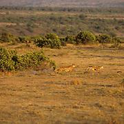 Cheetah, (Acinonyx jubatus) Running across Serengeti Plains after prey. Kenya. Africa.