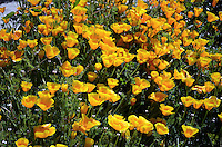 California Poppy, state flower, California, 201305012261<br /> <br /> Copyright Image from Victor Patterson, 54 Dorchester Park, Belfast, UK, BT9 6RJ<br /> <br /> Tel: +44 28 9066 1296<br /> Mob: +44 7802 353836<br /> Voicemail +44 20 8816 7153<br /> Skype: victorpattersonbelfast<br /> Email: victorpatterson@me.com<br /> Email: victorpatterson@ireland.com (back-up)<br /> <br /> IMPORTANT: If you wish to use this image or any other of my images please go to www.victorpatterson.com and click on the Terms & Conditions. Then contact me by email or phone with the reference number(s) of the image(s) concerned.