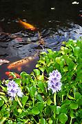 Carp in pond, Kula Botanical Garden, Maui, Hawaii<br />