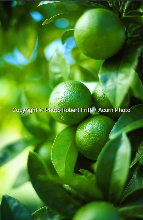 Limes on tree