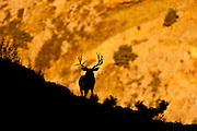 Mule deer at canyons edge at sunrise in Colorado