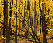 Autumn colors of Sugar Maples, Acer saccharum, in the Adirondack Mountains near Walker Mill, Adirondack Park, Franklin County, New York.