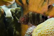 Redspotted Hawkfish (Amblycirrhitus pinos)<br /> BONAIRE, Netherlands Antilles, Caribbean<br /> HABITAT & DISTRIBUTION: Perch on bottom of Coral Reefs.<br /> Florida, Bahamas, Caribbean, Gulf of Mexico, Bermuda & south to Brazil.