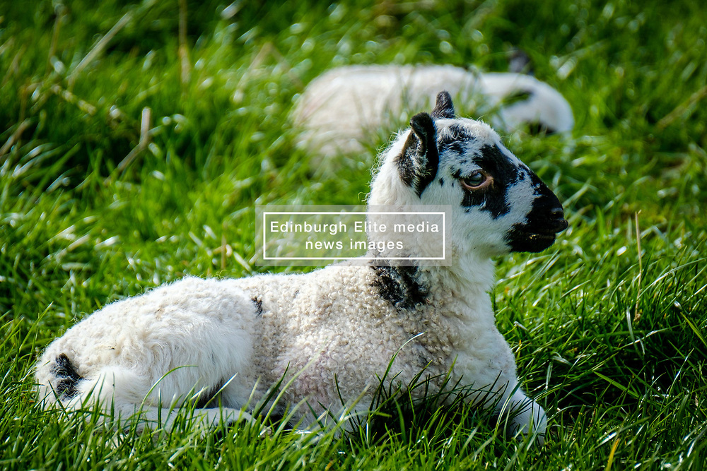 Portrait of a young lamb in the Scottish borders<br /> <br /> (c) Andrew Wilson | Edinburgh Elite media