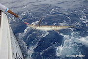 fishing mate Rooster Morehead brings in a blue marlin on charter vessel Reel Addiction, to remove the hook and release it; note yellow spaghetti tag that has just been applied; Vava'u, Kingdom of Tonga, South Pacific