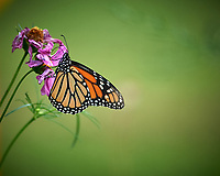 Monarch Butterfly. Image taken with a Nikon D5 camera and 80-400 mm VRII lens