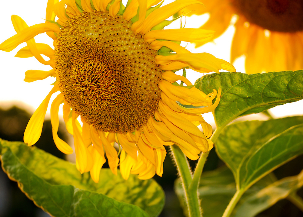 Sunflower smiling in the sun  Various flowers and nature scenes photographed at different times of the year.  All of flowers were photographed in New York, Connecticut, Massachusetts, Maine and Rhode Island.  Many, ones with the ducklings were photographed at the Botanical Gardens in the Bronx, New York and some at Mount Holyoke College Greenhouse in Massachusetts.