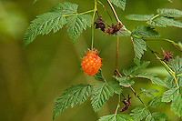 The salmonberry is one of the most well-known and common (not to mention the earliest) seasonal berries of the Pacific Northwest. They grow anywhere where the soil is damp, and if found in areas where the ground isn't too soggy, then the fruit is sweet and delicious!