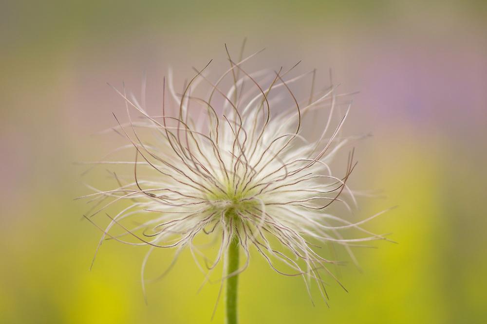 Pulsatilla pratensis, Small Pasque Flower, Gotska sandön, Sweden