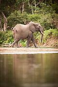 Elephant on the bank of the Lekoli River.