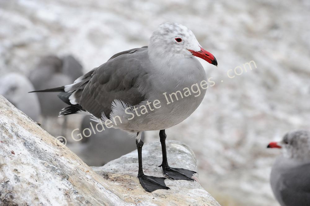 Distinctive West Coast Gull having ash-gray body and white head.    <br /> <br /> Species: Larus heermanni
