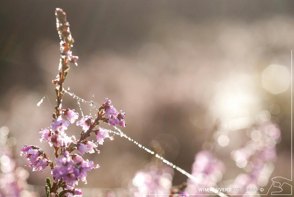 WK20100905-036.NEF.Natuur,Tafelbergheide,spinnenweb