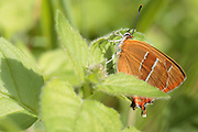 Brown hairstreak (Thecla betulae) butterfly. Bookham Common, Surrey, UK.