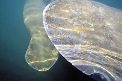 Tails Of Manatees