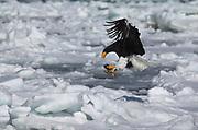 Steller's Sea Eagle, Haliaeetus pelagicus, coming in to land with fish on sea pack ice, Okhotsk Sea, Rausu, Hokkaido, Japan, japanese, Asian, wilderness, wild, untamed, photography, ornithology, snow, bird of prey, Vulnerable, mountain