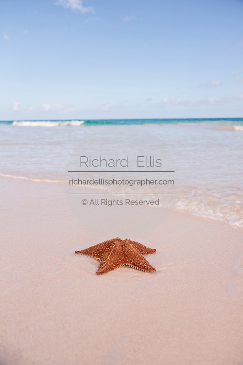 A Red Cushion sea star along the pink sands beach in Dunmore Town, Harbour Island, The Bahamas