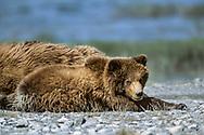 Alaskan brown bear cub resting on gravel beach with mother and siblings, along the McNeil River, Alaska, © David A. Ponton