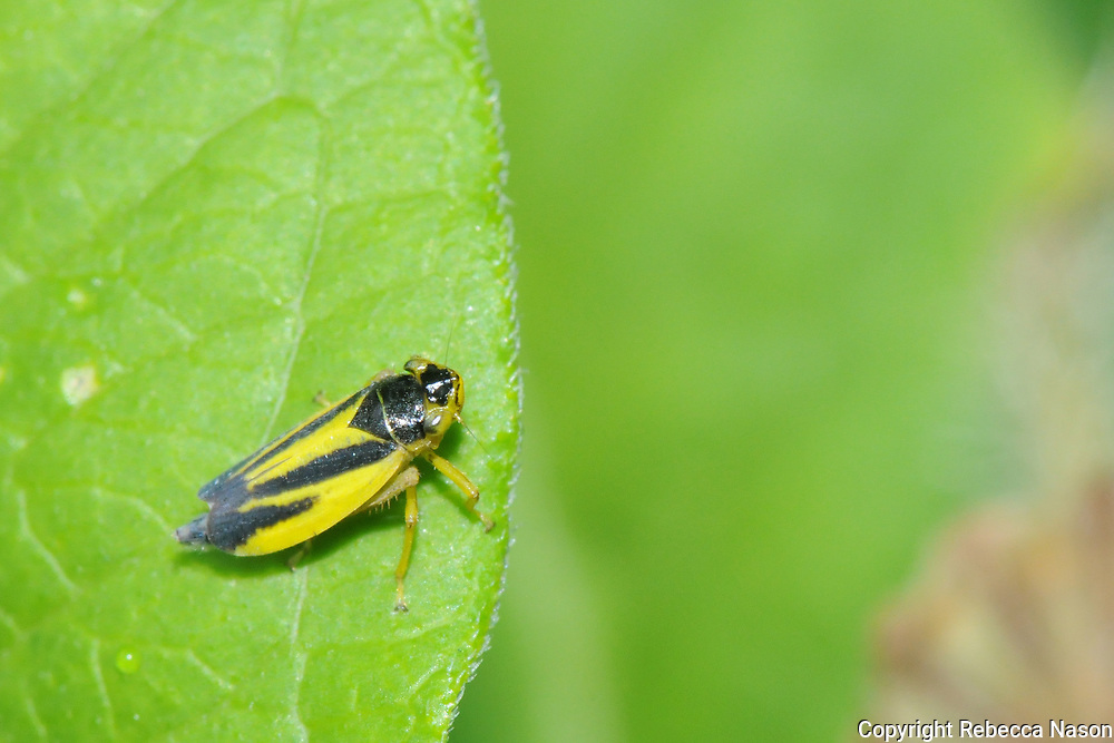 Large yellow and black leafhopper, unmistakable.