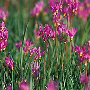Wildflowers, blooming field of pink shooting stars in meadow below Bridger mountains. Summer. Montana.