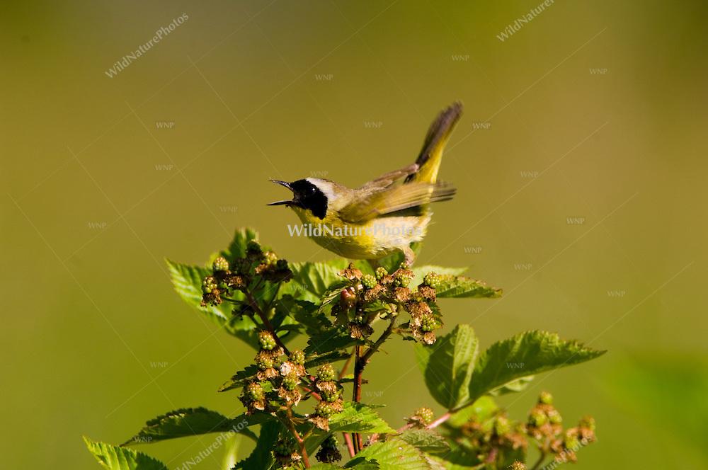 Common Yellowthroat, Geothlypis trichas, near the nest