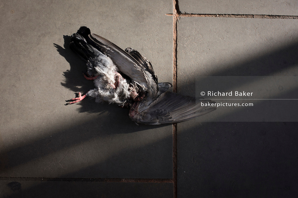 A mangled, headless, pigeon lies on the pavement on London's Piccadily.