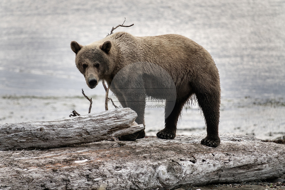 A brown bear adult boar walks on a driftwood log at the McNeil River State Game Sanctuary on the Kenai Peninsula, Alaska. The remote site is accessed only with a special permit and is the world's largest seasonal population of brown bears in their natural environment.