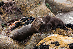 United States, Washington, Olympic National Park, Fourth Beach, mother river otter (Lontra canadensis) grooming two pups on a rock in the Pacific Ocean