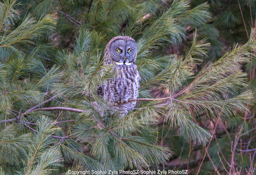 Great Gray Owl Late Day Listen
