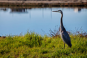 Great Blue Heron in Bolsa Chica Ecological Reserve, Orange County, California, USA