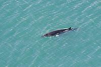 Common minke whale (Balaenoptera acutorostrata) in Skjalfandi Bay, northern Iceland - aerial