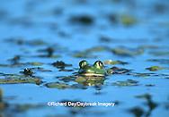 02471-00508 Bullfrog (Rana catesbeiana) in wetland Marion Co.  IL