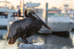 brown pelican standing by a marina in Fort Lauderdale, FL