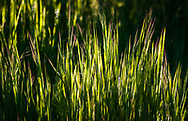 Backlit blades of grass in a meadow at Fort Ord National Monument, California