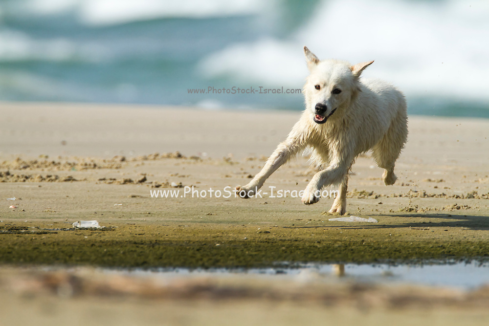 white Dog plays on a beach