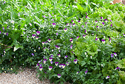 Viola tricolor with Lettuce 'Red Sails'  and 'Cocarde'. Heartsease