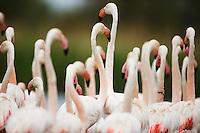 Greater Flamingos (Phoenicopterus roseus) in lagoon, close-up of necks, Camargue, France