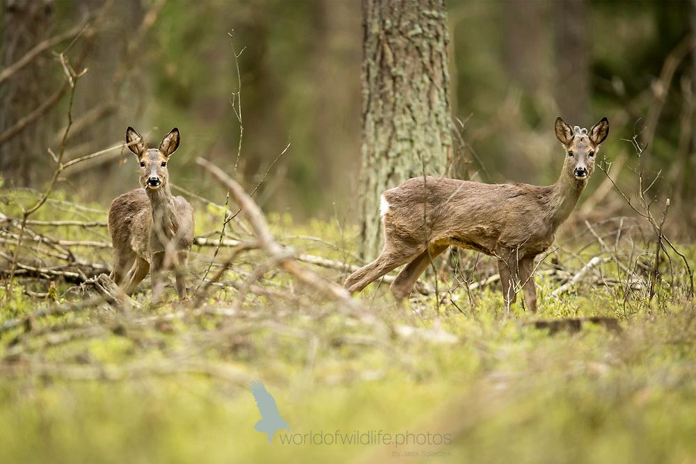 animals_of_bialowieza in bialowieza_forest 20170502.