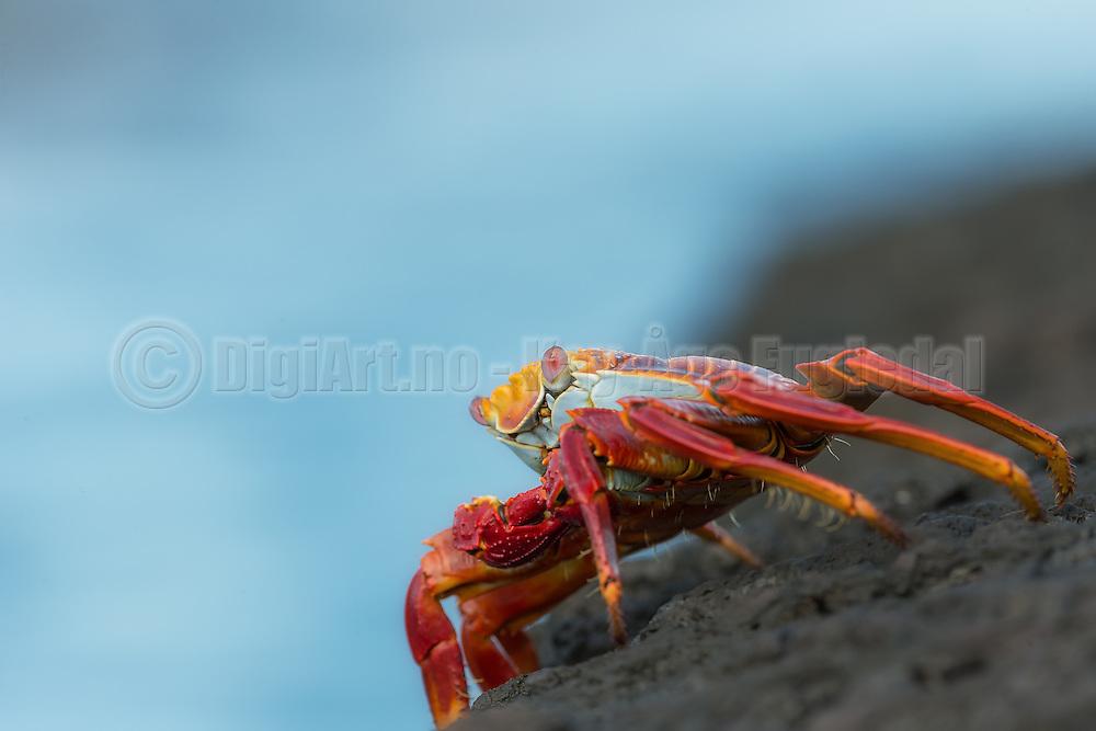 Red rock crab posing on a rock at Santiago Island, Galapagos   Rød klippekrabbe som poserer på et berg på Santiago øya på Galapagos.