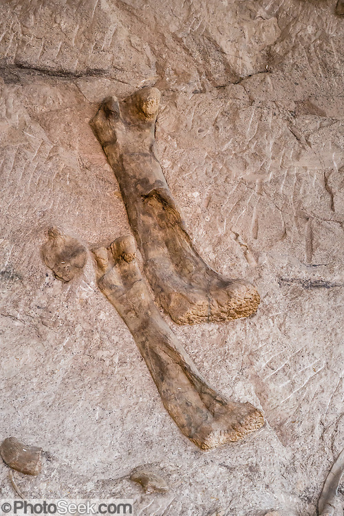"""Apatosaurus louisae leg bones in the Dinosaur Quarry at Dinosaur National Monument, Utah, USA. Later discoveries of so-called """"Brontosaurus"""" bones are a misnomer, as all bones of this sauropod (long necked dinosaur) should now be labeled Apatosaurus. The only Apatosaurus skull in the world was found in the Carnegie Quarry because the sand-sized sediment preserves bone in great detail without compressing its fragile bones. In Dinosaur National Monument, the popular Dinosaur Quarry displays a spectacular logjam of Jurassic dinosaur bones. The park is on the southeast flank of the Uinta Mountains straddling Colorado and Utah at the confluence of the Green and Yampa Rivers. Although most of the monument is in Moffat County, Colorado, the Dinosaur Quarry is in Utah near the town of Jensen, USA."""