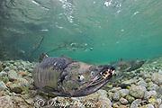 chum salmon, dog salmon, silverbrite salmon, or keta salmon, Oncorhynchus keta, in spawning stream, male with gnarly teeth, Sheep Bay, Alaska, USA ( Prince William Sound )