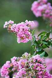 Pink Crepe Myrtle in Bloom