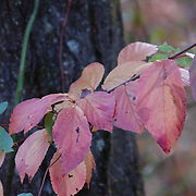 Willow leaves turning their autumn red.  D and R Canal, Hillsborough, NJ