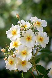 Rosa 'Kew Gardens' syn. 'Ausfence' AGM'