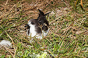 Bonin petrel, Pterodroma hypoleuca, at night, Sand Island, Midway, Atoll, Midway Atoll National Wildlife Refuge, Papahanaumokuakea Marine National Monument, Northwest Hawaiian Islands, USA ( Central North Pacific Ocean )