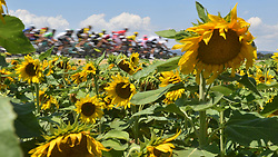 July 21, 2018 - Mende, FRANCE - Illustration picture shows sunflowers during the 14th stage in the 105th edition of the Tour de France cycling race, from Saint-Paul-Trois-Chateaux to Mende (188km), France, Saturday 21 July 2018. This year's Tour de France takes place from July 7th to July 29th...BELGA PHOTO DAVID STOCKMAN (Credit Image: © David Stockman/Belga via ZUMA Press)
