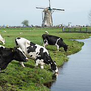 Nederland Vlist 2 april 2011 20110402 Groene Hart, typisch hollands tafereel, koeien in weiland drinken water uit de sloot. Op de achtergrond een windmolen., typisch hollands, typisch hollands landschap, typische, vee, veeteeld, veeteelt, vrij, vrijheid, water level, Water Management Authority, waterbeheer, Waterbeheerplan, watergang, watergangen, waterhuishouding, Waterkwaliteit, waterlevel, watermanagement, waterniveau, Waterpeil, waterplan, waterrijk, waterrijke, waterschap, Waterschappen, waterspiegel, waterstaatkundige, waterstand, watersysteem, wei, weide, weidegang, weiland water level, windmolen, zuivel industrie, zuivelindustrie  Foto: David Rozing