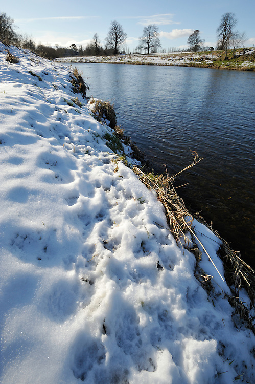 Otter tracks in snow by River Tweed,<br /> Lutra lutra,<br /> River Tweed, Scotland - February